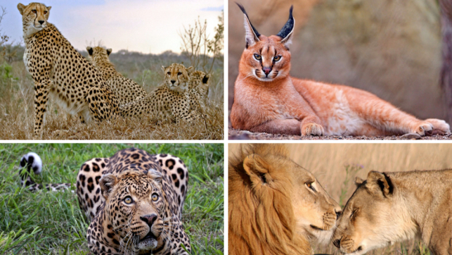 African Big Cat Conservation