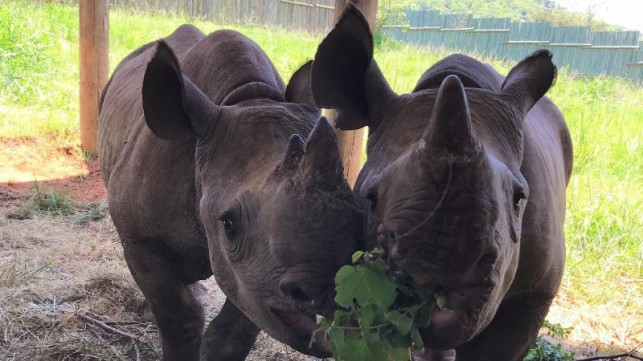 Russel races to rescue black rhino orphans
